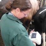 Tierärztin Lucy Olbrich    Ultraschall beim Rind